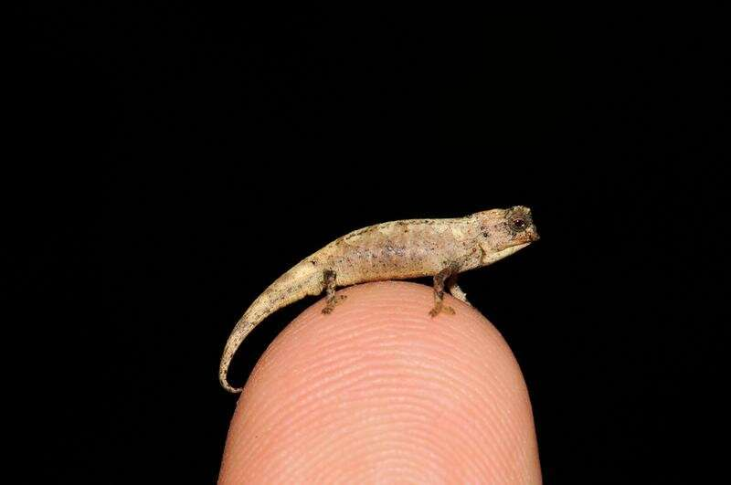 Meet the nano-chameleon, a new contender for the title of world's smallest reptile