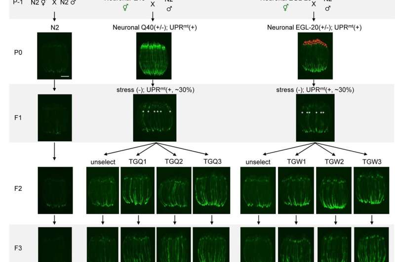 Memory of neuronal mitochondrial stress being passed on to their descendants