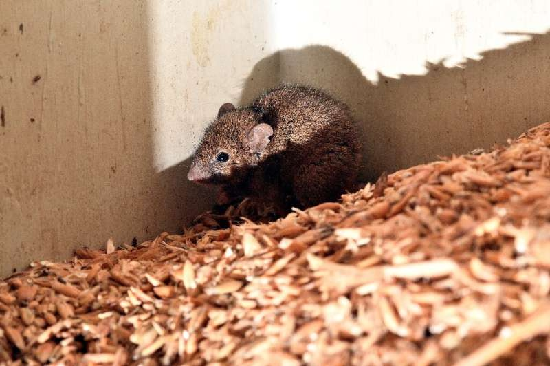 Mice continue to chew through grain and hay stocks in eastern Australia, which has been hit by its worst feral infestations in l
