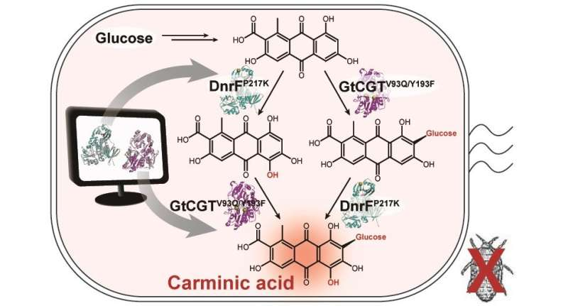 Microbial production of a natural red colorant carminic acid