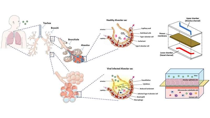 Microchip models of human lungs enable better understanding of disease, immune response