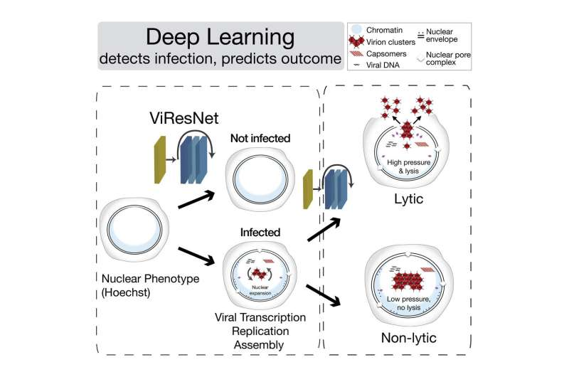 Microscopy deep learning predicts viral infections