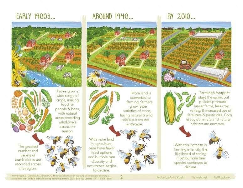 Los abejorros del medio oeste disminuyeron con más tierras cultivadas y cultivos menos diversos desde 1870