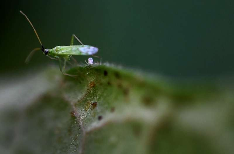 Millions of predatory macrolophus keep tomatoes free from pests—and pesticides