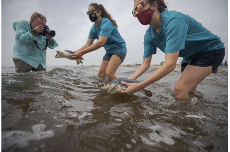Mini parade of rescued young sea turtles released into Gulf