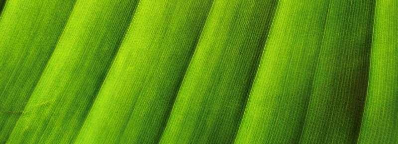 El mecanismo milagroso permite que las células vegetales distribuyan direccionalmente la hormona del crecimiento auxina
