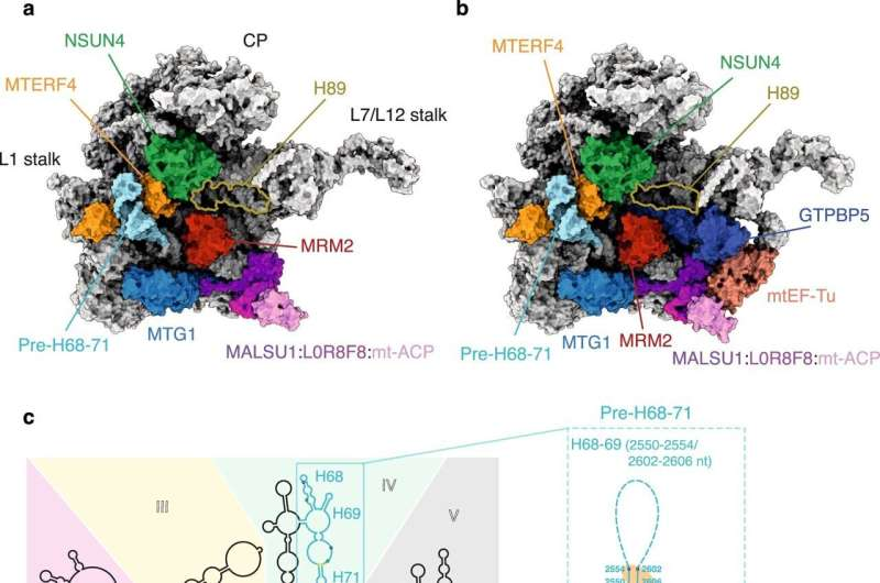 Mitochondrial ribosome assembly in 3D
