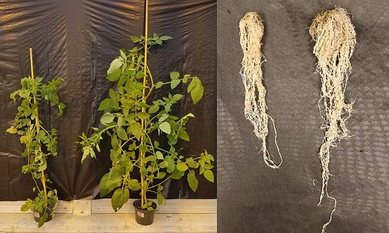 Los tomates modernos no pueden recibir el mismo impulso de microbios del suelo que los ancestros antiguos