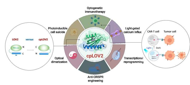 Modular photoswitch cpLOV2 developed for optogenetic engineering
