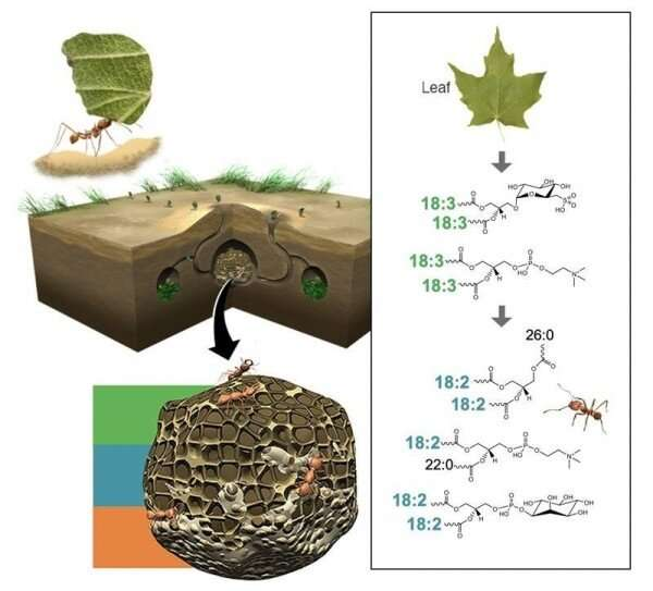 Molecular connections from plants to fungi to ants