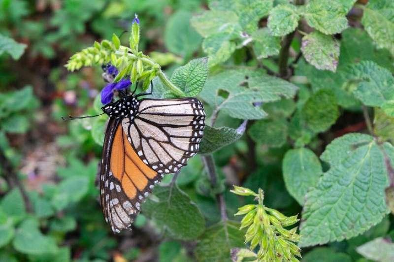 Las mariposas monarca son esenciales para los ecosistemas y las economías porque polinizan las plantas, reciclan los nutrientes y sirven como alimento.