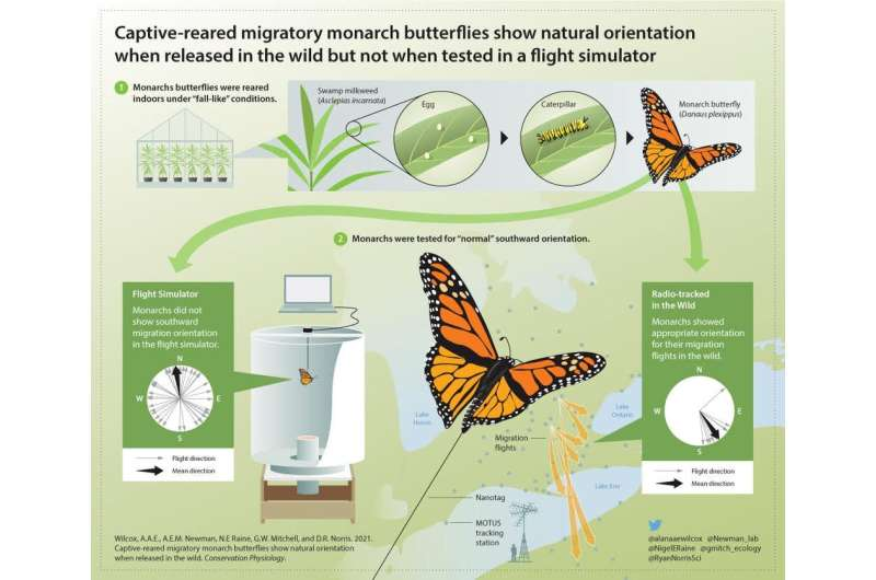 Monarch butterflies raised in captivity can still join the migration