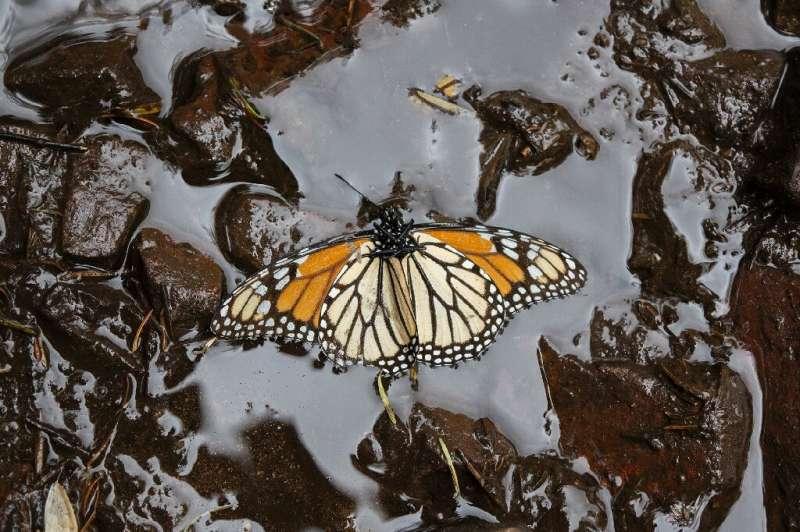 Las monarcas del lado oriental del continente norteamericano se encuentran en una situación difícil: su población ha disminuido en más
