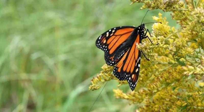 Las mariposas monarcas criadas en cautiverio pueden orientarse para la migración, revela un estudio