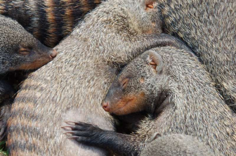 Mongooses solve inequality problem
