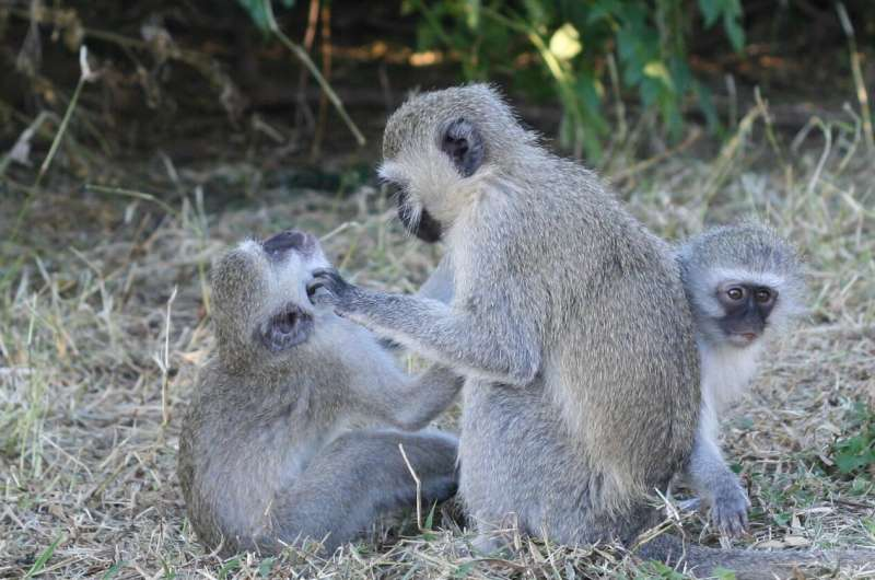 Monkeys are less cuddly with each other when dealing with an infection, study finds