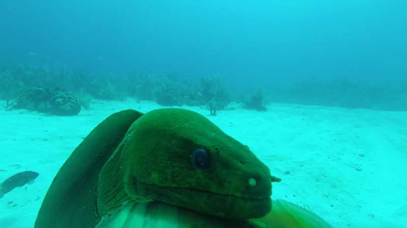 Moray eels thrive on coral reefs close to people