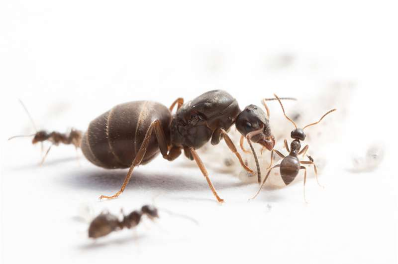 More diverse ant colonies raise more offspring