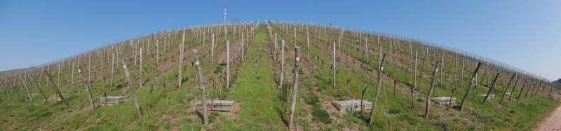Los viñedos de Mosel se preparan para el cambio climático compartiendo su suelo con aromáticos