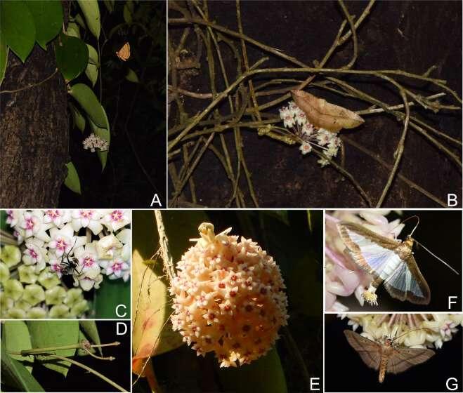 Most effective pollinator of Hoya pottsii revealed