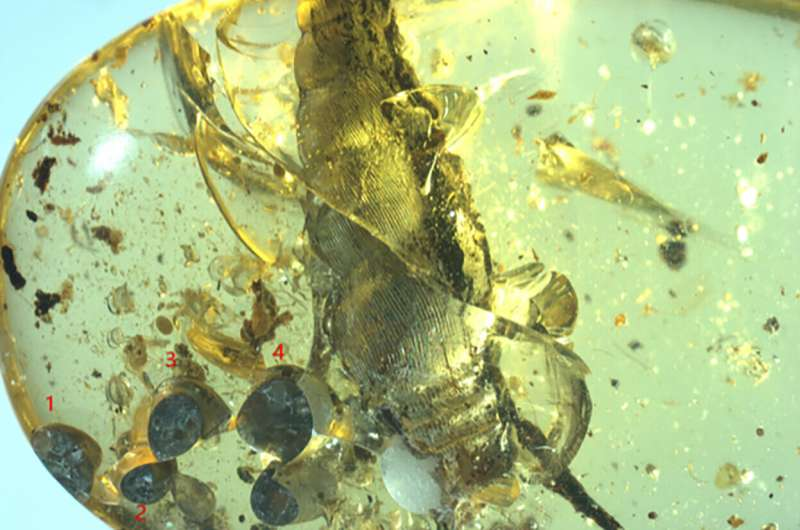 Mother snail labors for posterity in bed of mid-Cretaceous amber