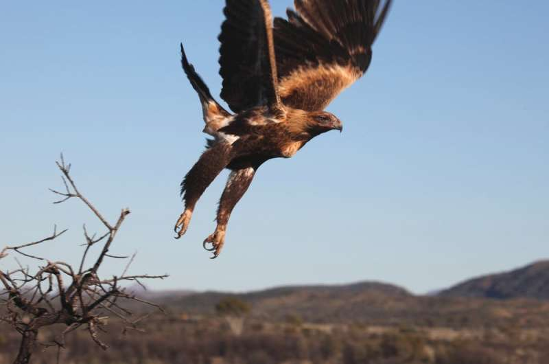 Mouse plague: bromadiolone will obliterate mice, but it'll poison eagles, snakes and owls, too