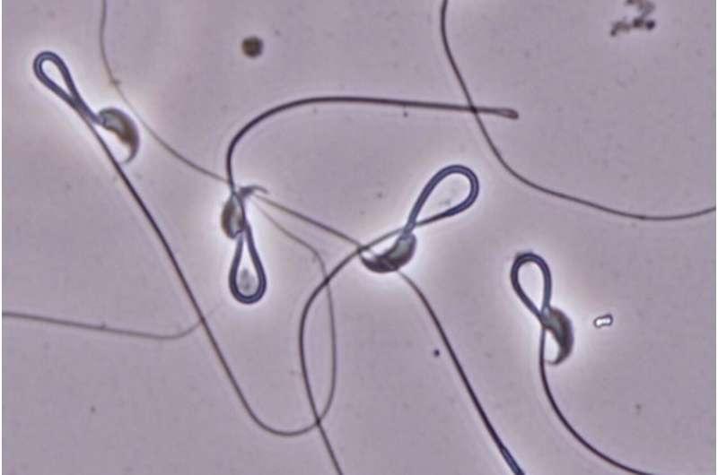 Mouse sperm need a molecular VIP pass to reach the egg membrane