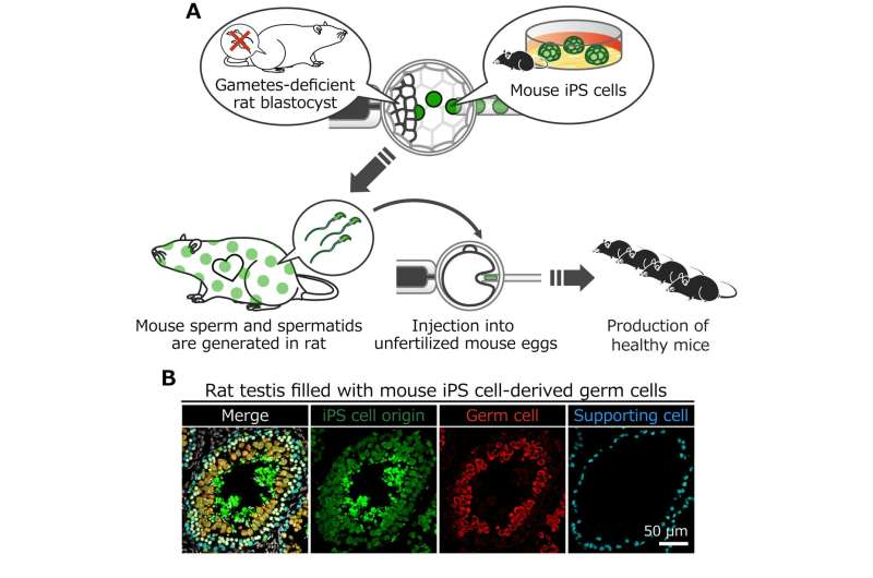 Mouse sperm generated in rats