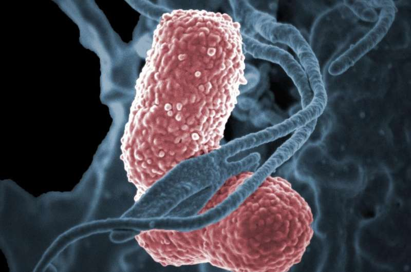 Mouse study shows bacteriophage therapy could fight drug-resistant Klebsiella pneumoniae