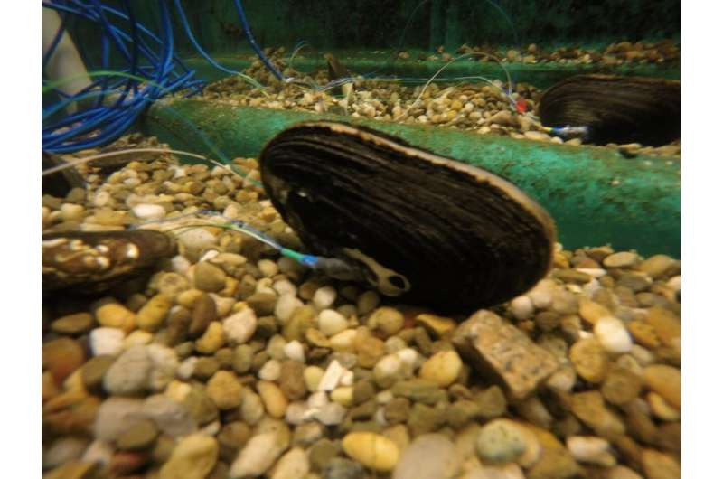 Mussel sensors pave the way for new environmental monitoring tools