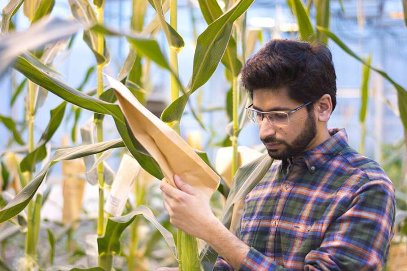 Mutant corn gene boosts sugar in seeds, leaves, may lead to breeding better crop