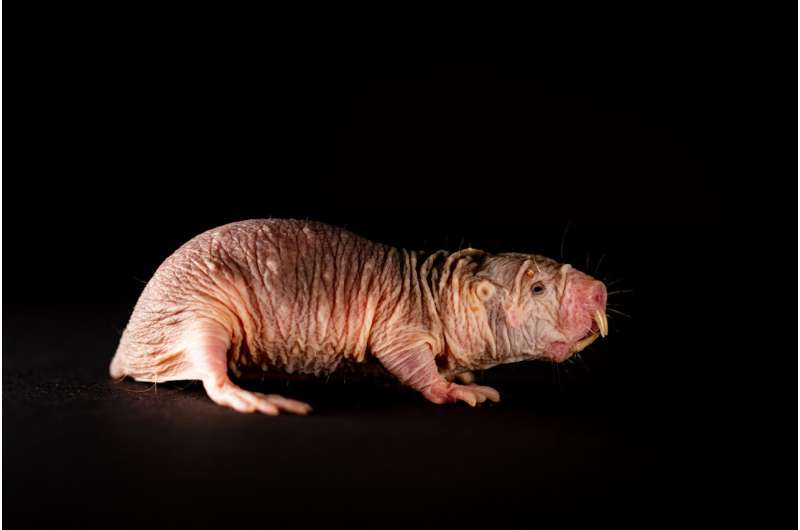 Naked mole-rats speak in dialect