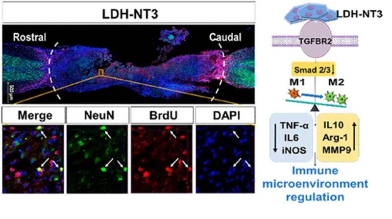 Nanobiomaterial boosts neuronal growth in mice with spinal cord injuries