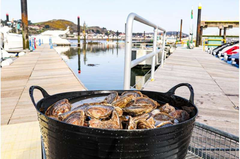 Native oysters restored to Conway Bay