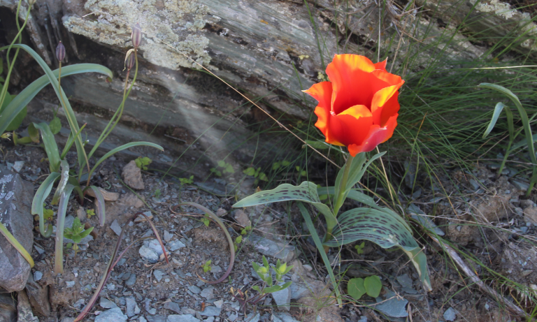 Neglected species – who cares about Kyrgyzstan's threatened tulips?