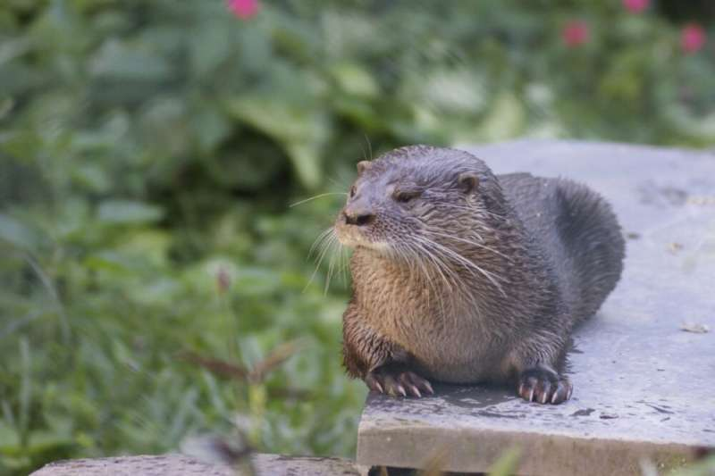 Neotropical river otters in Brazil communicate in a rich vocal range