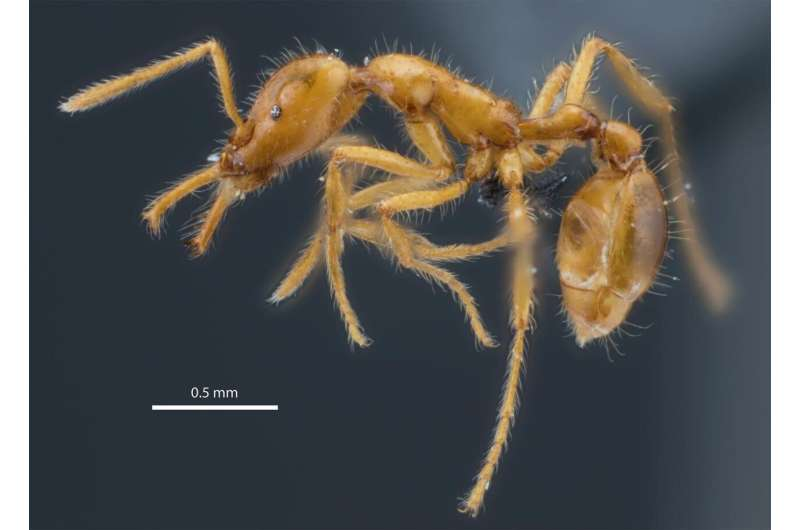 New ant species named in recognition of gender diversity