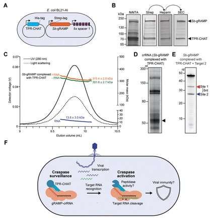 New CRISPR-Cas system cuts virus RNA