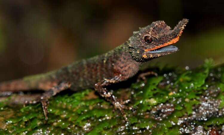 New DNA study provides critical information on conserving rainforest lizards