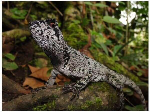 New dragon-like lizard species discovered in the Tropical Andes