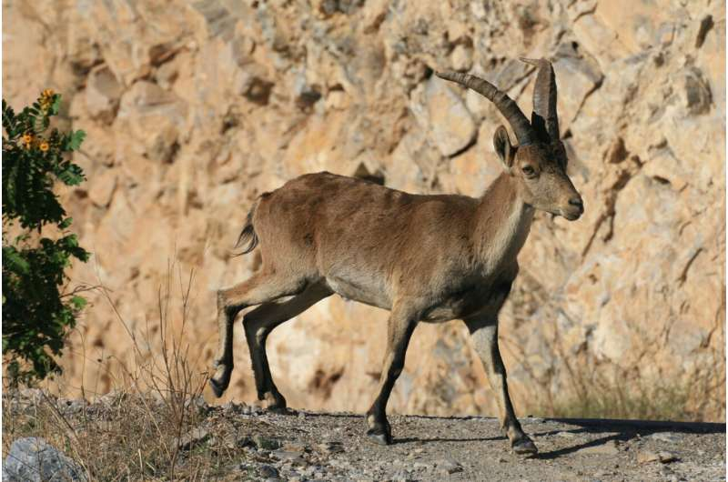 New insights on the diversity of the Iberian wild goat