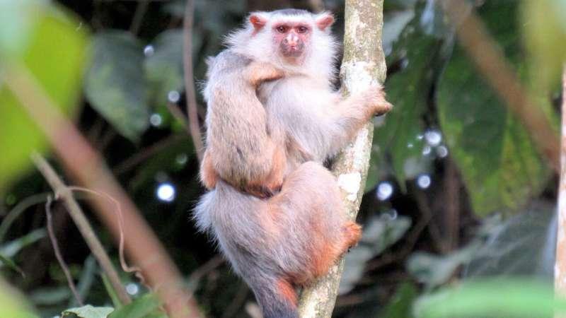 New marmoset species discovered in Brazilian Amazon