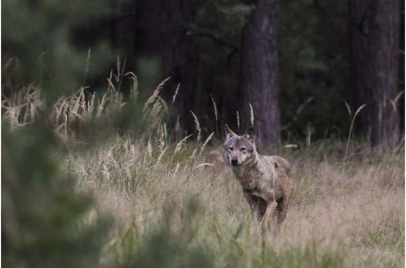 New method allows unambiguous identification of wolf hybrids in Europe's forests