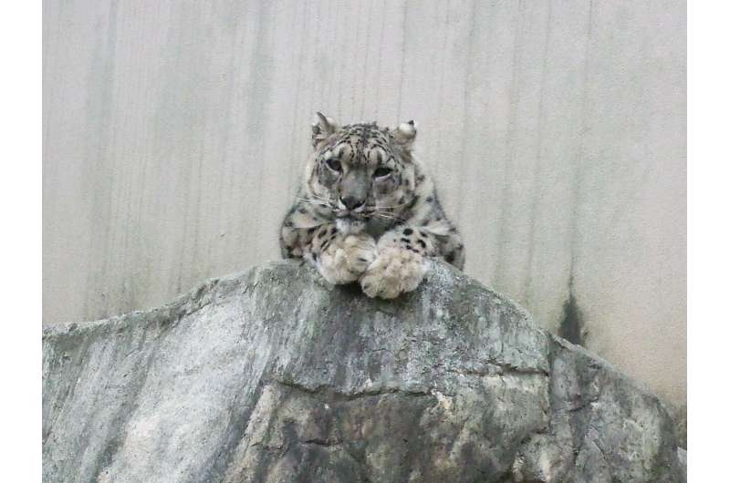 New method lets researchers rapidly monitor snow leopard stress levels in the wild