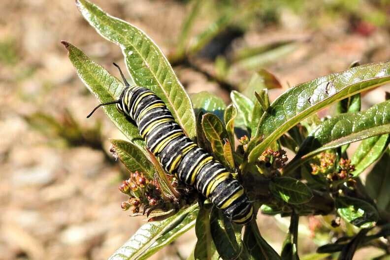 New Monarch butterfly breeding pattern inspires hope