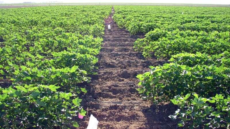 Nuevos cultivares de algodón pima muestran una resistencia mejorada a la enfermedad del marchitamiento por Fusarium