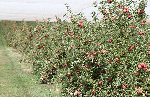 New planting guide creates a 'buzz' in Blue Mountains' orchards