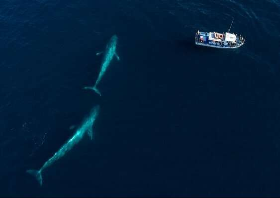New population of blue whales discovered with help of bomb detectors