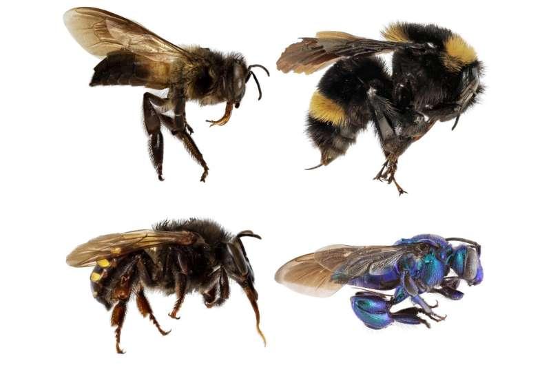 Una nueva investigación profundiza el misterio sobre la evolución del comportamiento social de las abejas