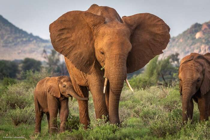 New research discovers longer-term effects on elephants from poaching